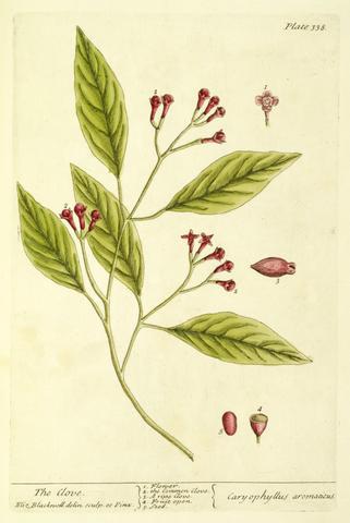 Elizabeth Blackwell, The Clove, Carophyllus aromaticus